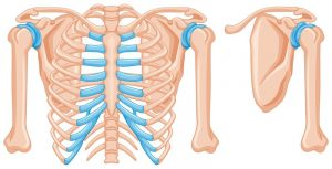 Structure of shoulder bones